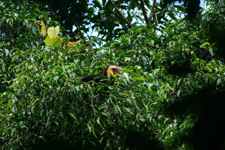Wreathed hornbill (Rhyticeros undulatus). Photo by Riki Rahmansyah.