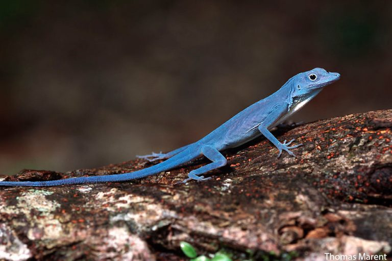 Thomas Marent (http://www.thomasmarent.com), a world renowned photographer visited Gorgona specifically to photograph the blue anole.  It took him four days to find one, which was promptly eaten by a Basilisk after he had taken just two pictures.  Marent was told that Basilisks are one of the reasons for the demise of the blue anole, though exhaustive conversations with herpetologists now suggest this is not the case.  In any event, Marent's beautiful photo of the blue anole getting chomped by a Basilisk can be found in his wonderful book of photographs, Rainforest.
