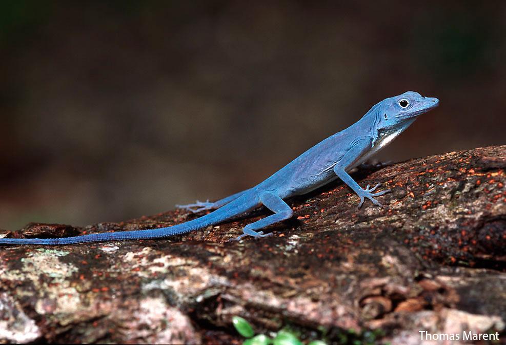 world s bluest lizard headed toward extinction