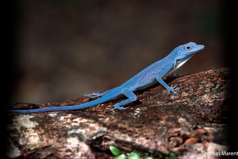 Blue Anole from Colombia. Photo by Thomas Marent