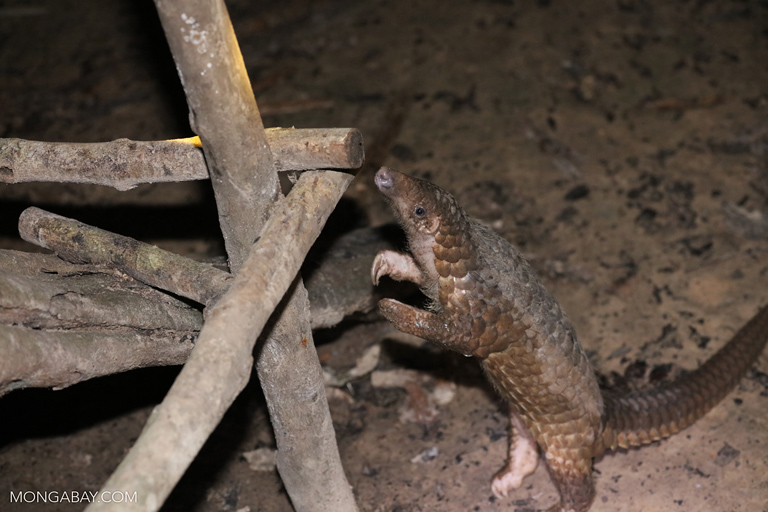 Pangolin in Cambodia. Photo br Rhett A. Butler.