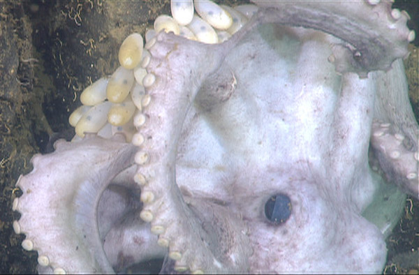 Scientists have recently discovered that the deep sea octopus, Graneledone boreopacifica, guards its eggs for four-and-a-half years, longer than any other animal on planet that we know of. This image shows the octopus mother, who's grown ghostly white from lack of food. Photo by: Robison et al.