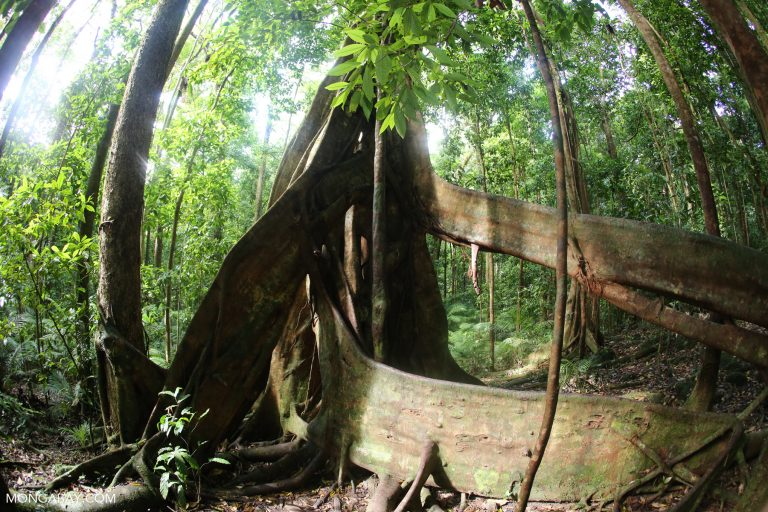 Strangler fig in Australia's Daintree. The Australian government has recently attempted to weaken protections for native ecosystem