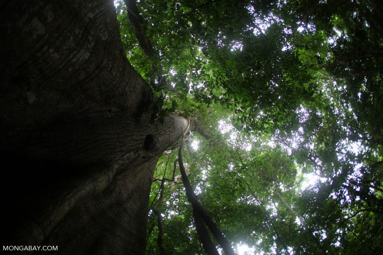 Rainforest tree in Panama. The fate of forests depends on actions we take today.