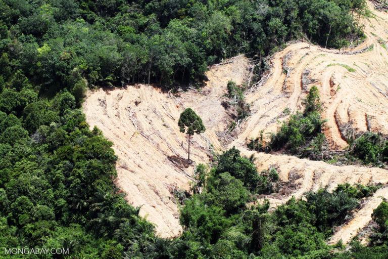 Deforestation for oil palm in Malaysian Borneo.