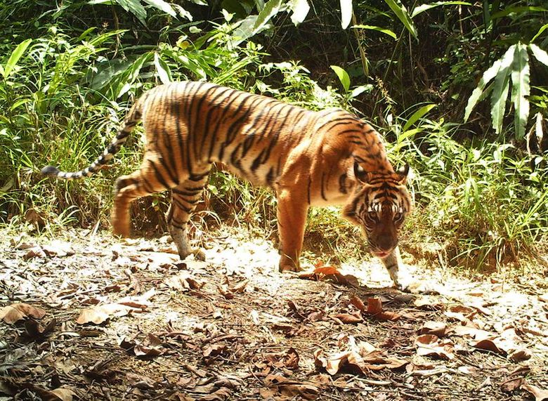 The critically endangered Sumatran tiger. Photo courtesy of the World Wildlife Fund and the Indonesian environment and forestry ministry