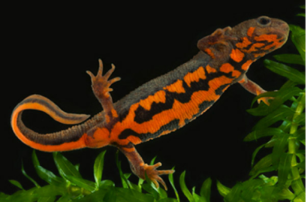 Cynops cyanurus, one of three common pet salamanders that serve as a reservoir for Bsal. Photo by Todd Pierson.