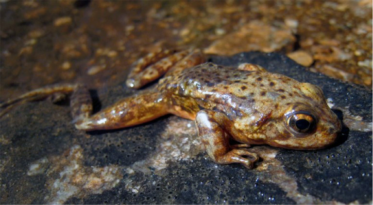 An endangered Sierra Nevada mountain-yellow legged frog (Rana sierrae formerly R. muscosa) sick with Bd. Photo by Vance Vredenburg.