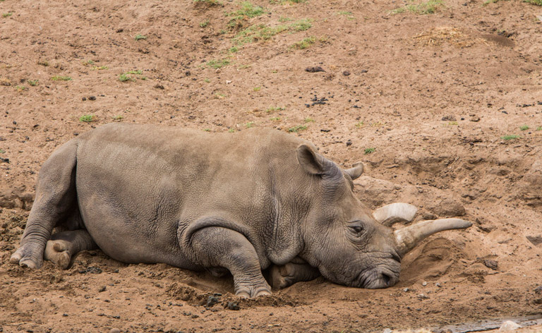 Nola, one of four northern white rhinos left in the world. She currently lives in San Diego. Photo courtesy of Jeffrey Keeton via flickr.