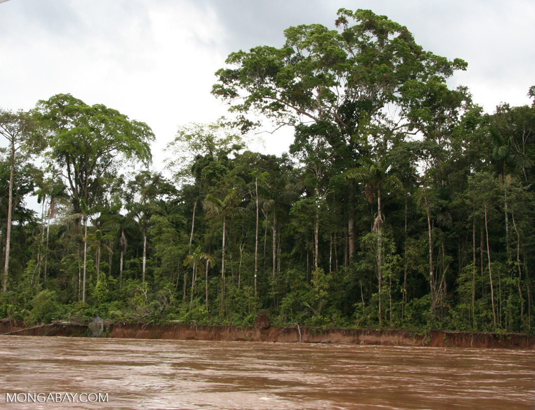 Forest along the bank of the Tambopata river, Peru. Photo credit: Rhett Butler