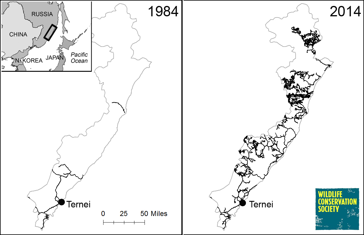 The proliferation of roads in Terney County, Primorye, from 1984-2014, based on an analysis of satellite imagery by WCS Russia.