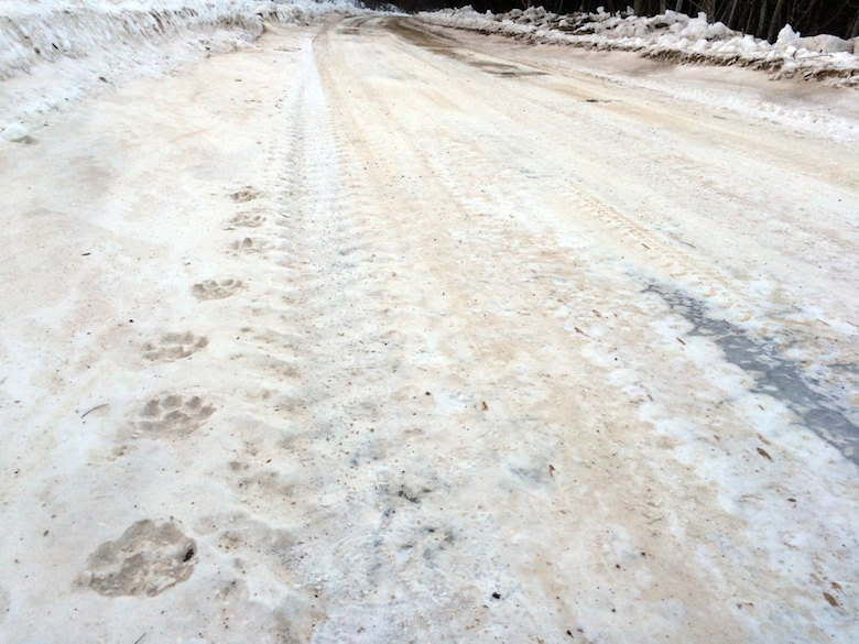 Amur tiger tracks along a logging road in Primorye, Russia. Photograph © J. Slaght, WCS Russia.