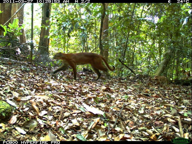 An Asiatic golden cat captured by camera trap. Photo credit: Tiger Team_WWF.