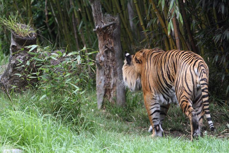 Siberian Tiger. Photo by Rhett Butler.