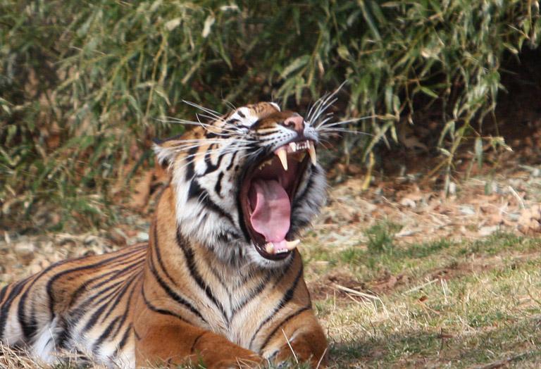 A yawning Sumatran tiger. Photo by: Rhett Butler.