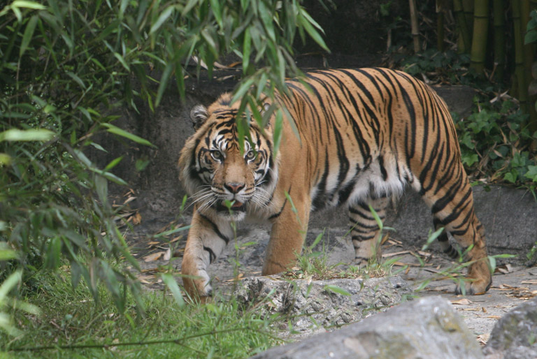 Siberian Tiger (Panthera tigris altaica). Photo by: Rhett Butler.