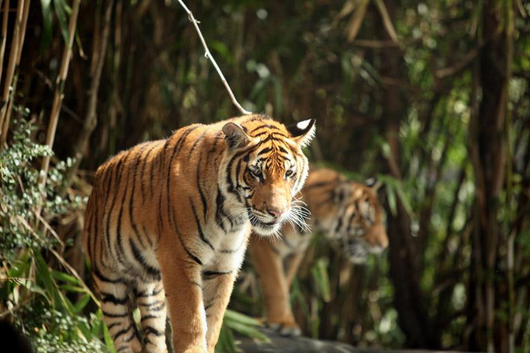 Malayan tigers. Photo by Rhett Butler.