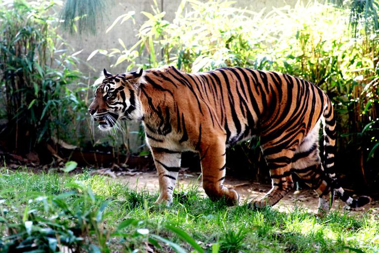 Sumatran tiger (Panthera tigris sumatrae). Photo by: Rhett Butler.