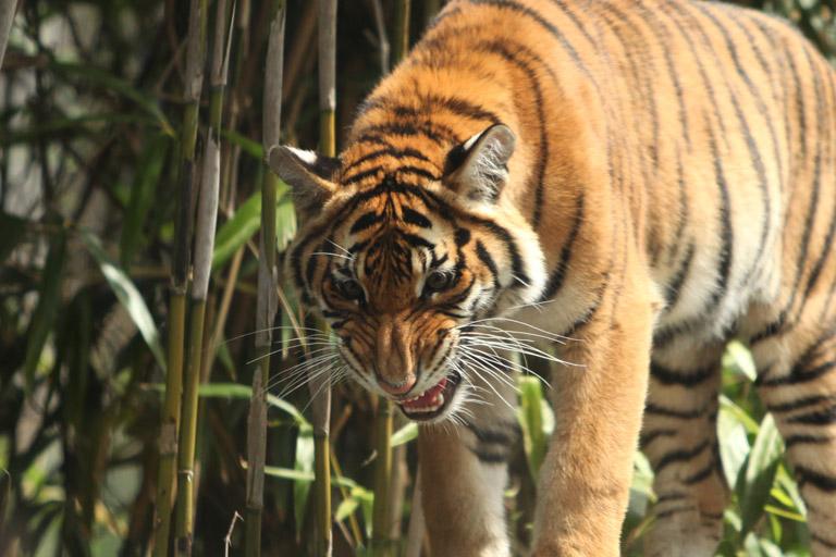 Malayan tiger. Photo by: Rhett Butler.