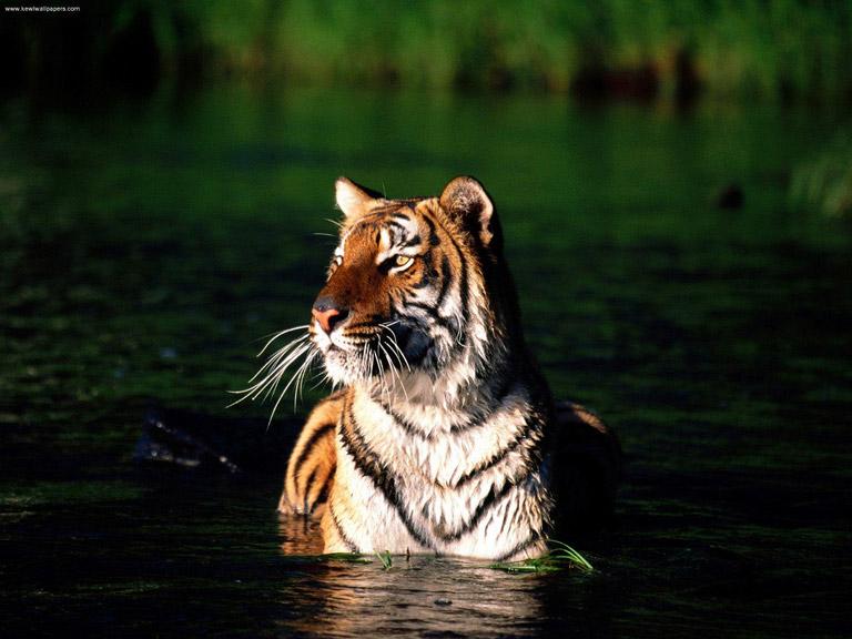 Bengal tiger (Panthera tigris tigris). Photo courtesy of flickrfavorites via flickr.
