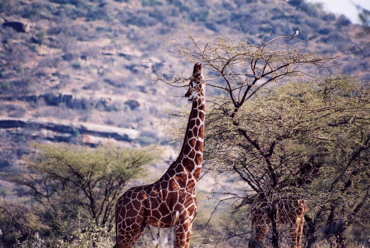 тип жираф на дереве картинки для одном ресурсе это