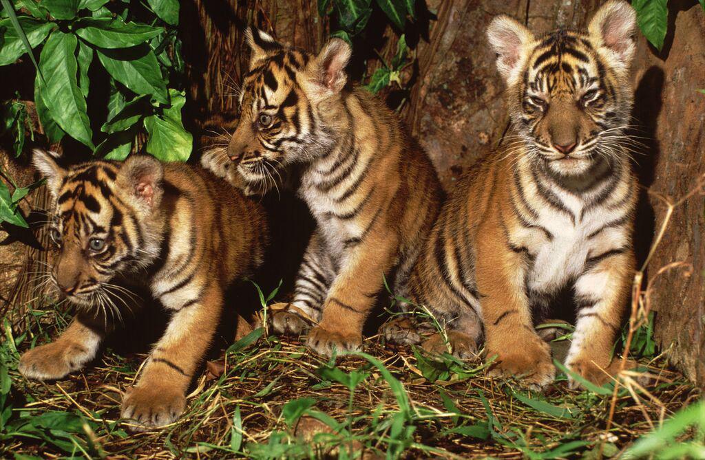 Sumatran tiger cubs. Bukit Tigapuluh is famous for its diversity of mammals, including Sumatran orangutan, Sumatran tiger, Sumatran elephant, Sumatran rhinoceros, Asian tapir, sun bear, siamang, Sumatran surili, Sunda loris, and clouded leopard, among others. Photo courtesy of WWF.