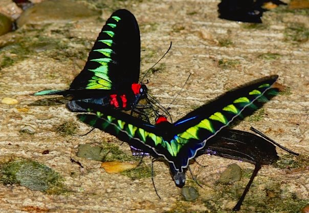 Sarawak's forests are home to many unique and threatened species, such as these Rajah Brooke's birdwing butterflies (Trogonoptera brookiana). Photo by Morgan Erickson-Davis.