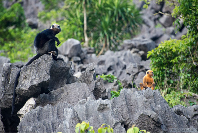 The future of the species depends on their being left alone to reproduce in peace — a very slow process — beyond the threat of poachers. Photo by Neahga Leonard and courtesy of the Cat Ba Langur Conservation Network.