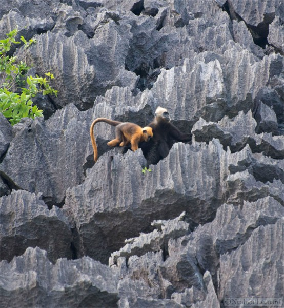Langurs criss-cross needle-sharp rock with ease that would shred a bare human foot. Photo by Neahga Leonard and courtesy of the Cat Ba Langur Conservation Network.