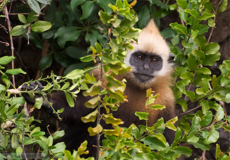 A foraging sub-adult Cat Ba langur. Photo by Neahga Leonard and courtesy of the Cat Ba Langur Conservation Network.