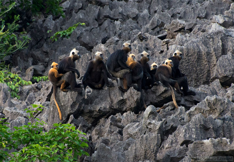 A Cat Ba langur group hangs out on a rain-pitted limestone outcrop. Photo by Neahga Leonard and courtesy of the Cat Ba Langur Conservation Network.