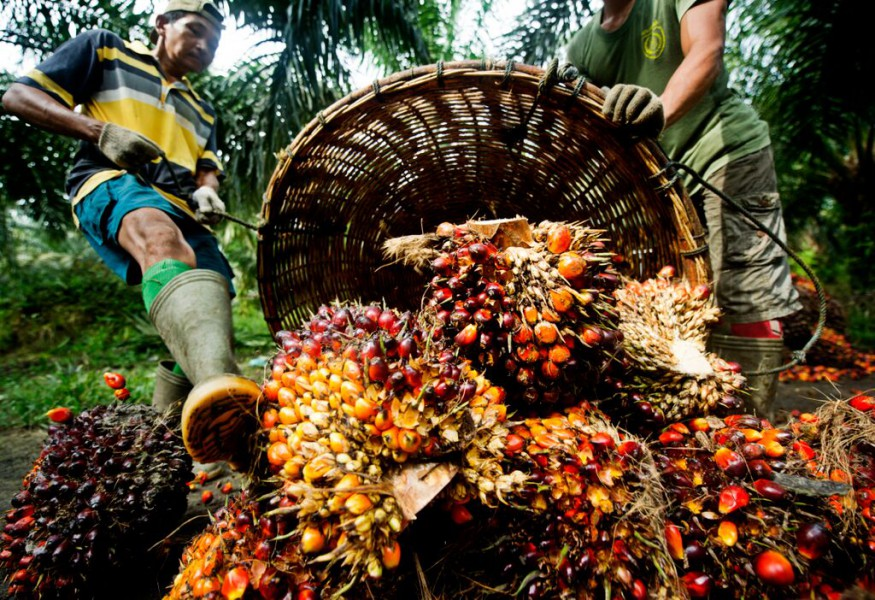 Palm oil is produced by pressing the fruit of oil palm trees. Photo by James Morgan / WWF-International
