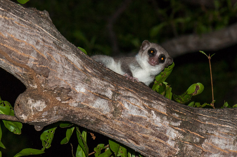 The discovery will require further investigation by researchers to determine if the lemur is a new species; and if it is unique, to observe and describe it. Photo credit: Louise Jasper.