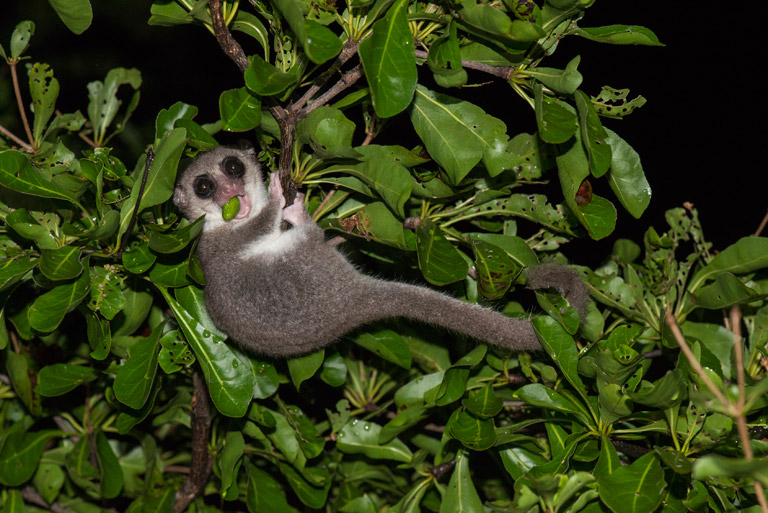 A University of Kent conservation researcher and his spouse recently stumbled upon an unusual dwarf lemur on a Madagascar out island. Photo credit: Louise Jasper.