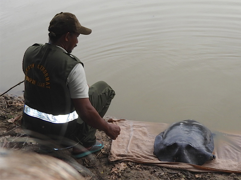 Samsir Bin Laimun, DGFC's Honorary Wildlife Warden, releasing the turtle in Danau Girang.