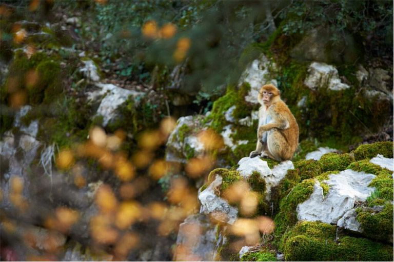 A female Barbary macaque sits on a rock in Talassemtane National Park. The BMAC team were able to identify several groups in the park and surrounding areas during their survey from Autumn 2014 - Spring 2015. Photo credit: Andrew Walmsley.