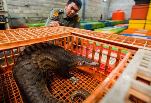 A live pangolin stares out from the poultry cage it had been locked in by illegal wildlife traffickers, while an Indonesian law enforcement agent looks on. Photo credit: Paul Hilton for WCS.