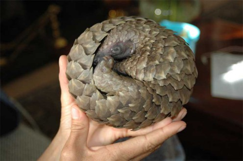 The pangolin rolls itself into a tight ball, providing a great defense against tigers, but not traffickers, who pick up the animals and drop them in a bag. Photo credit: Tikki Hywood Trust.