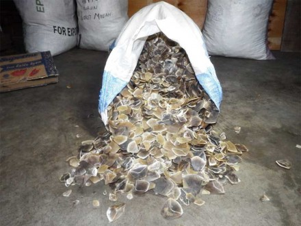 A bag of pangolin scales seized in Medan, Sumatra. The dried scales are used in traditional Chinese medicine to treat ills ranging from excessive nervousness and hysterical crying in children, to possession by devils or ogres in women, to malaria, deafness, cancer, rheumatism, asthma, acne and more. There is no scientific basis for such claims. Photo credit: Paul Hilton for WCS-Indonesia.