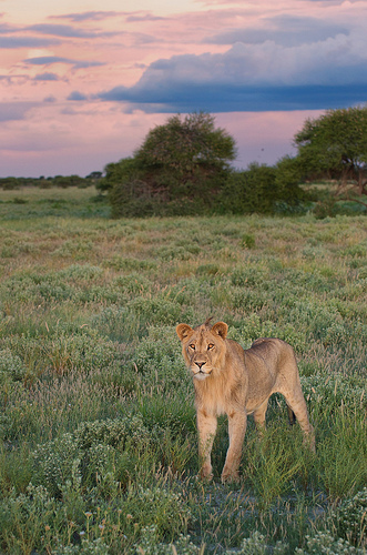 A lion at dusk in the Central Kalahari Game Reserve. Photo credit: Gary Gamso.