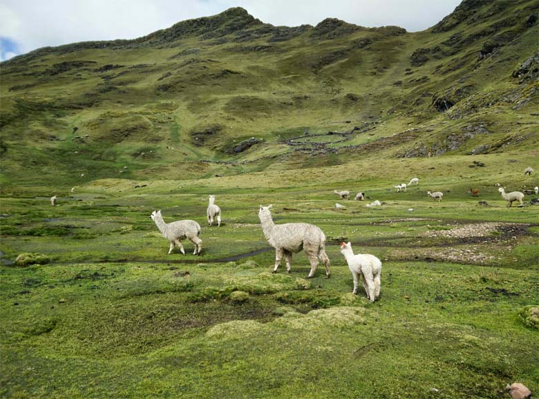 Juan Yupanqui's llamas and alpacas in the highland moor below his grandparents' house, far above the treeline. Credit: Saul Elbein