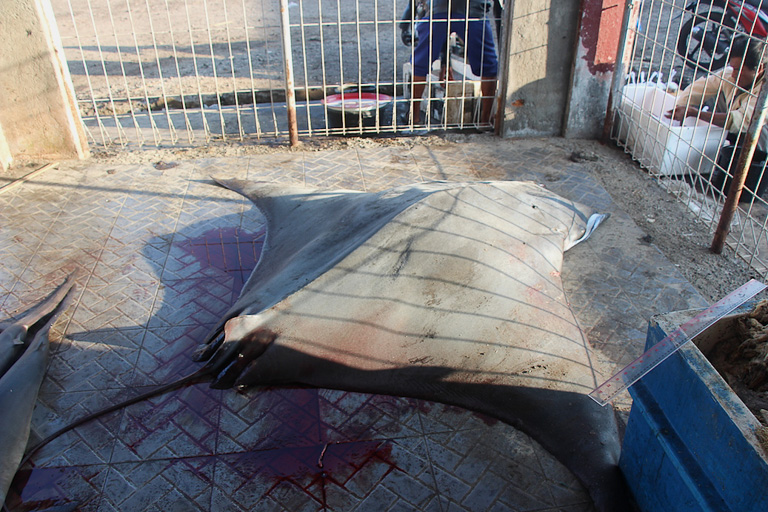 A Japanese devilray on the auction floor at Tanjung Luar port, Lombok. Tourists often mistakenly identify the species as a manta ray — listed as vulnerable by the IUCN —  at this auction center. Photo credit: Melati Kaye.