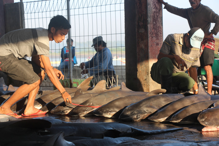 A man measures a shark's length before morning auctions at the Tanjung Luar port shark market, Lombok. Photo credit: Melati Kaye.