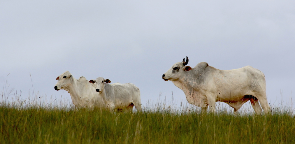 Small herds of cattle roam the grasslands. Photo by Morgan Erickson-Davis.