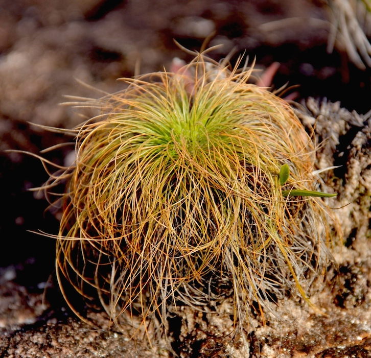 "This peculiar plant called ""wacauma"" occurs in clumps throughout the pampa of the first survey site. Photo by Morgan Erickson-Davis."