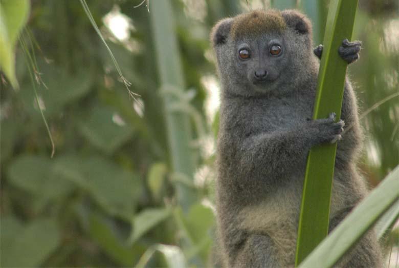 Alaotra Gentle Lemur. Photo credit: Alice Smith.