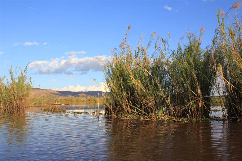 Reeds in the Alaotra marshes, habitat for the Alaotra Gentle Lemur and Durrell's Vontsira. Photo credit: Lance Woolaver.