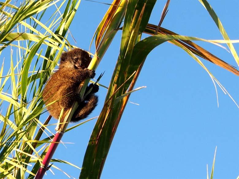 A young Alaotra Gentle Lemur. Photo credit: Arnaud De Grave.