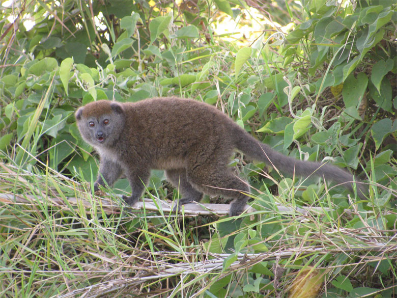 The Alaotra Gentle Lemur is the only primate that lives exclusively within a wetland habitat. Photo credit Toby Nowlan.