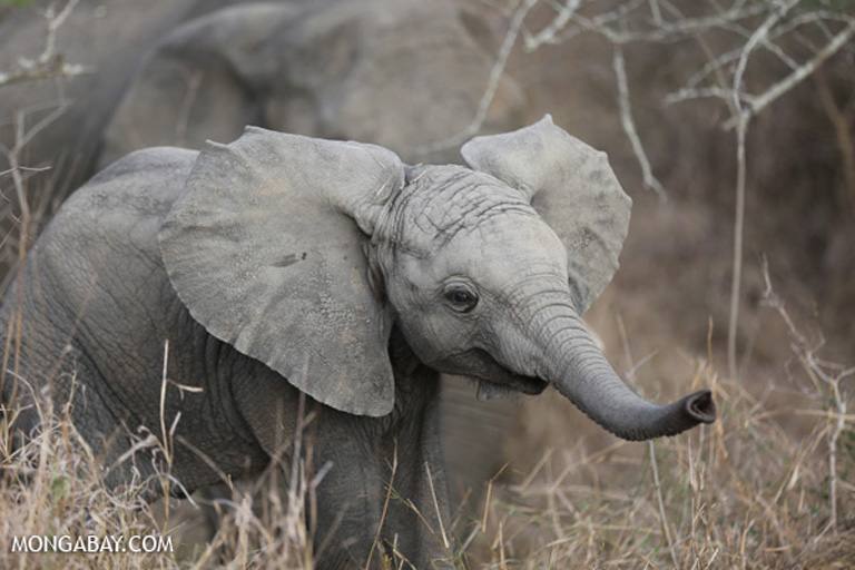 African elephant in Kruger South Africa. Photo by Rhett Butler.